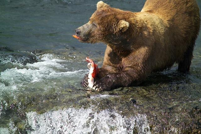 Niedźwiedź polujący na łososia