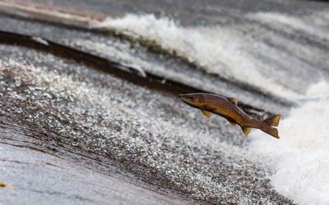 Gatunek łososia – Sprawdź 15 definicji słownikowych w krzyżówce