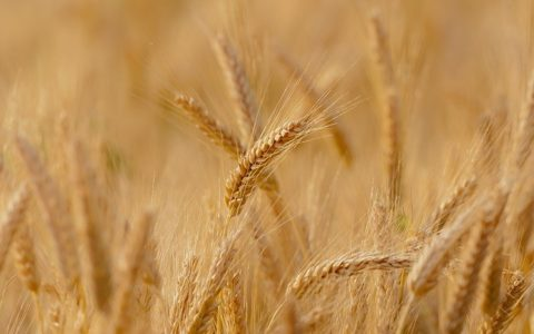 Roślina zbożowa – Hasło w krzyżówce – Słownik definicji