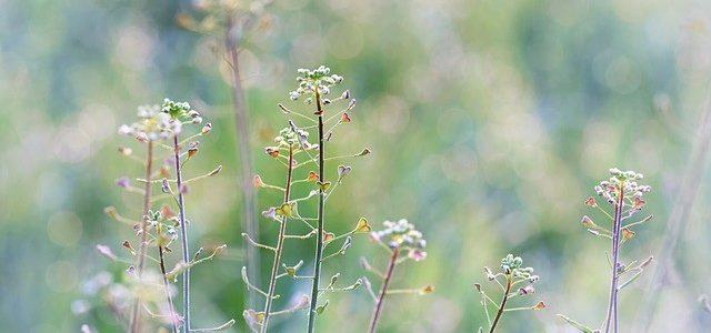 Chwast polny – Rodzaje, Definicje, Słownik